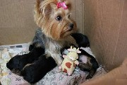 Lindos yorkshire terrier